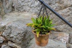 Vasi che appendono sulla parete con i fiori nella città di Valldemosa Fotografie Stock Libere da Diritti