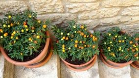 Vasi con belladonna ornamentale sulle scale Fotografia Stock