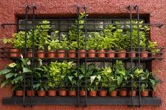 Vasi con le piante verdi in una finestra Immagine Stock