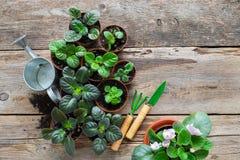 Vasi da fiori dei fiori di saintpaulia Piantatura i fiori, annaffiatoio e degli strumenti di giardino conservati in vaso fotografia stock libera da diritti