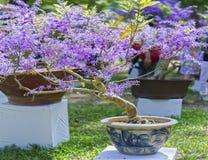Vasi da fiori di fioritura dell'albicocca di porpora Immagine Stock