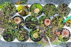 Vasi da fiori succulenti di Sempervivum, vista superiore fotografia stock libera da diritti