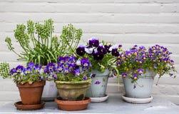 Vasi da fiori sulla tavola di legno con i fiori viola e la parete bianca Fotografie Stock Libere da Diritti