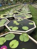 Vasi della pianta di Lotus Fotografia Stock