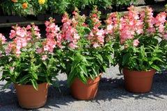Vasi di argilla ed appartamenti dei fiori variopinti affinchè giardinieri selezionino da Fotografia Stock