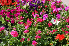 Vasi di fiore del geranio da vendere ad un negozio di fiorista Immagini Stock