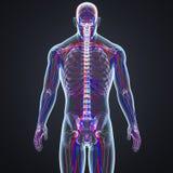 Vasi sanguigni e linfonodi con la vista di scheletro del posteriore del corpo Immagini Stock