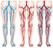 Vasi sanguigni in gambe umane illustrazione di stock