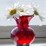 Vaso com camomilas Foto de Stock Royalty Free
