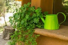 Vaso con i gerani e l'annaffiatoio verde fotografia stock