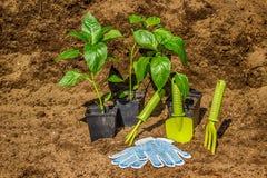 Vaso con il fondo bl dei guanti dell'attrezzatura degli strumenti di giardino delle piantine Fotografia Stock