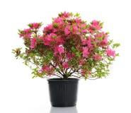 Vaso con l'azalea del fiore Immagini Stock