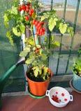 Vaso con la pianta di pomodori ed il contenitore bianco con i quei alread Fotografie Stock