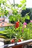 Vaso con la pianta di pomodori nel terrazzo Fotografia Stock