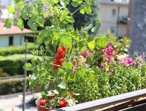 Vaso con la pianta di pomodori nel terrazzo Immagini Stock