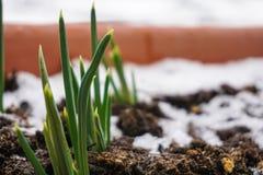 Vaso da fiori con la foglia verde dei fiori sul balcone della neve Fotografia Stock