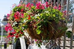 Vaso da fiori d'attaccatura con i fiori rosa del geranio Immagini Stock