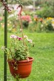 Vaso da fiori d'attaccatura con le petunie rosa luminose Immagine Stock