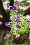 Vaso da fiori d'attaccatura con le petunie viola luminose Immagini Stock
