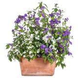 Vaso de flores com o solanum branco e roxo fotografia de stock royalty free