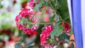 Vaso de flores de suspensão com gerânio cor-de-rosa video estoque