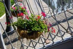 Vaso de flores de suspensão com as flores cor-de-rosa do gerânio Fotografia de Stock