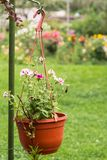 Vaso de flores de suspensão com os petúnias cor-de-rosa brilhantes Imagem de Stock