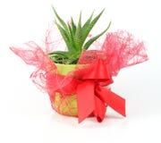 Vaso rosso decorativo del cactus Fotografia Stock