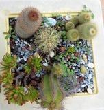 Vaso dei cactus Immagini Stock