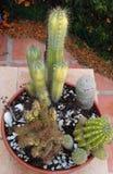 Vaso dei cactus assortiti Fotografia Stock Libera da Diritti