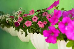 Vaso dei fiori della petunia che appendono sull'albero fotografie stock libere da diritti