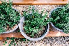 Vaso dei rosmarini nel colore d'annata Fotografie Stock