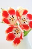 vaso dei tulipani fotografie stock libere da diritti