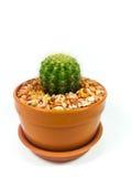 Vaso del cactus isolato su fondo bianco fotografia stock