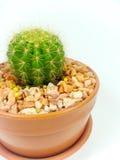 Vaso del cactus isolato su fondo bianco fotografia stock libera da diritti