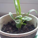 Vaso della pianta Immagini Stock