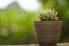 Vaso della pianta con il cactus con fondo verde Immagini Stock
