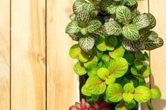 Vaso della pianta su fondo di legno Fotografia Stock Libera da Diritti