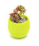 Vaso della pianta succulente Immagine Stock