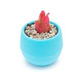 Vaso della pianta succulente rossa Fotografia Stock Libera da Diritti
