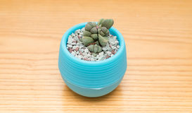 Vaso della pianta succulente verde Fotografia Stock Libera da Diritti