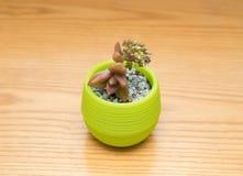 Vaso della pianta succulente verde Fotografie Stock Libere da Diritti