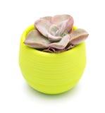 Vaso della pianta succulente verde Immagini Stock