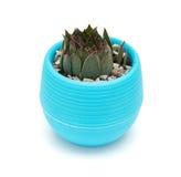 Vaso della pianta succulente verde su bianco Fotografie Stock