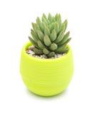 Vaso della pianta succulente verde su bianco Fotografie Stock Libere da Diritti
