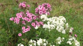 Vaso di fiore d'attaccatura con il hybrida bianco della petunia dei fiori della petunia video d archivio