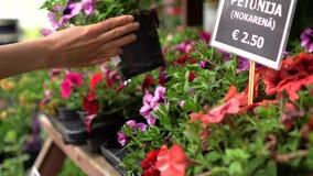 Vaso di fiore della petunia della scelta delle mani dallo scaffale al deposito della pianta di giardino stock footage