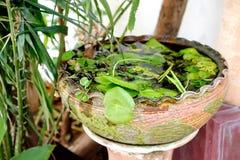 Vaso di Lotus, vaso nel giardino, Tailandia delle ninfee Fotografia Stock Libera da Diritti