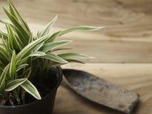 Vaso di plastica nero del comosum di Chlorophytum con la vanga sul BAC di legno Immagini Stock