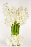 Vaso do Amaryllis fotografia de stock royalty free
